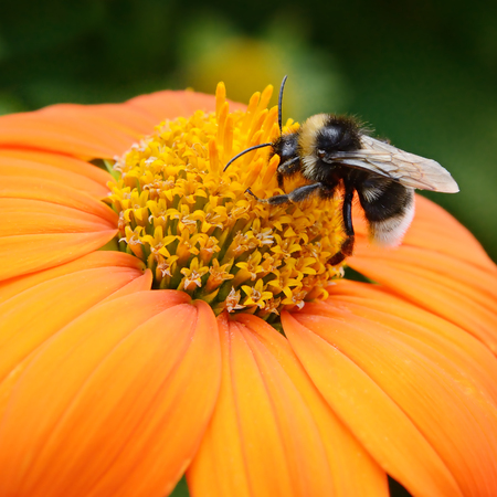 Big bumble bee on flower Stock Photo
