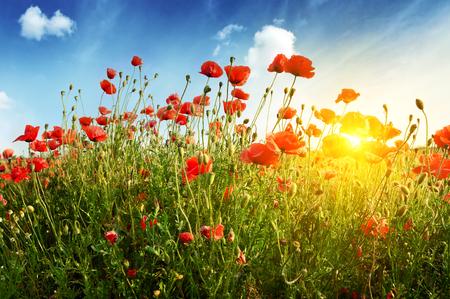 Papaver veld in stralen zon Stockfoto - 46429567