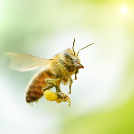 flying honey bee in sunlight