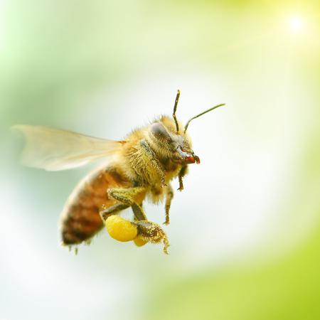flying honey bee in sunlight