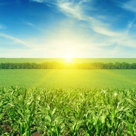 Prachtige zonsondergang op maïsveld Stockfoto