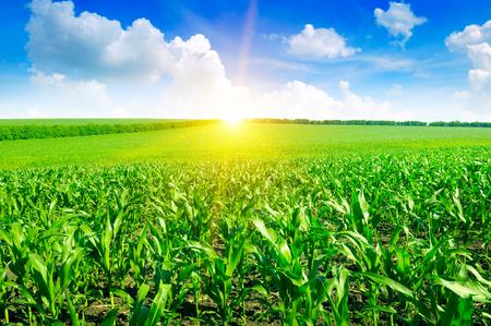 Beautiful sunrise on green cornfield Foto de archivo