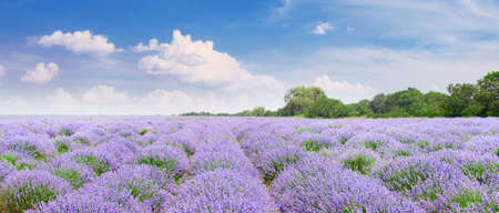 Picturesque lavender field with ripe flowers and blue sky.