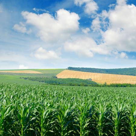 그림 같은 언덕과 푸른 하늘에 흰 구름에 옥수수 필드입니다. 스톡 콘텐츠