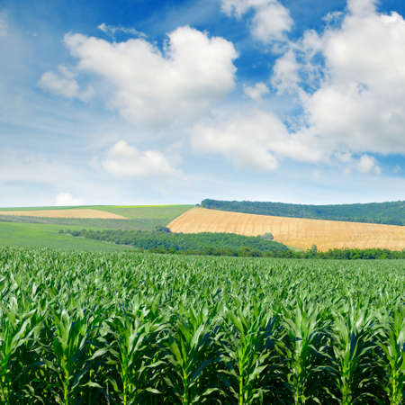 Corn field in the picturesque hills and white clouds in blue sky.
