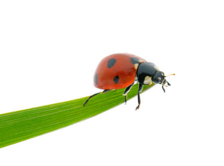 Bright red ladybird on green leaf isolated on white background. 스톡 콘텐츠