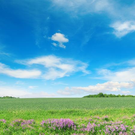 Campo de trigo de primavera verde y cielo azul. Copia espacio Foto de archivo