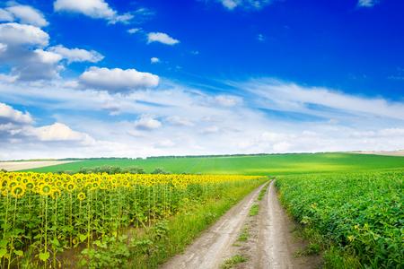 Country road between summer fields sunflower.