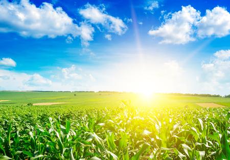 Zonsopgang boven zomer maïsveld. Stockfoto