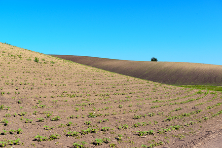 Chernozem field with young sprouts sunflower and clear blue sky Zdjęcie Seryjne