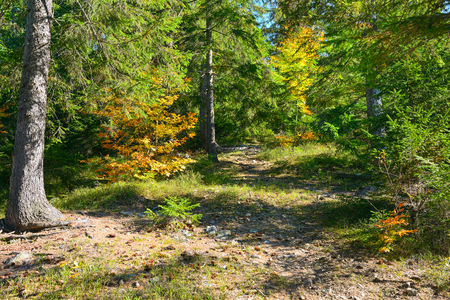 Coniferous and deciduous trees in brightly lit autumn forest. Fall landscape. Zdjęcie Seryjne