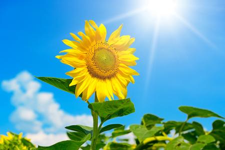 Sunflower flower against blue sky and sun. Free space for text. Zdjęcie Seryjne
