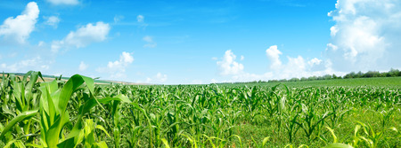 Bright summer sun over green corn field. Wide panorama