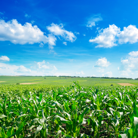 Fresh corn field with young plants and bright blue sky Zdjęcie Seryjne