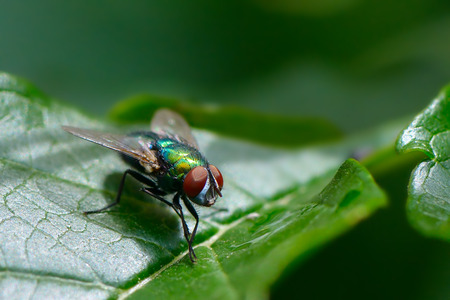 Common fly on green leaf Banque d'images - 129541198