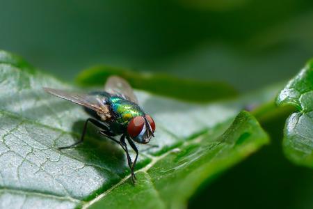Common fly on green leaf 版權商用圖片