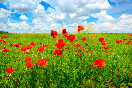 Wild poppies on spring meadow and bright blue sky. Zdjęcie Seryjne