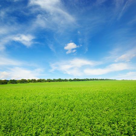 Frisches Frühlingskleefeld und blauer Himmel Standard-Bild