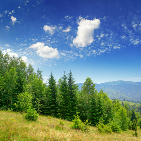 Evergreen fir trees in mountains and blue sky Zdjęcie Seryjne