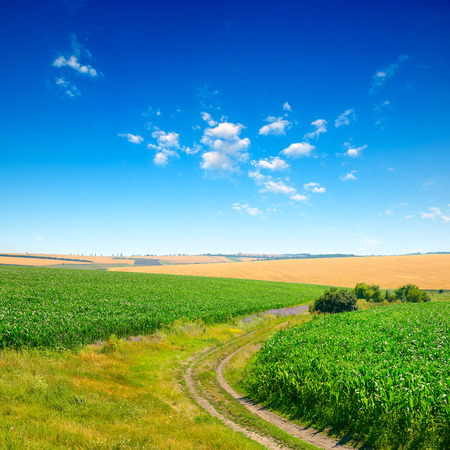 Blue sky over corn field and country road