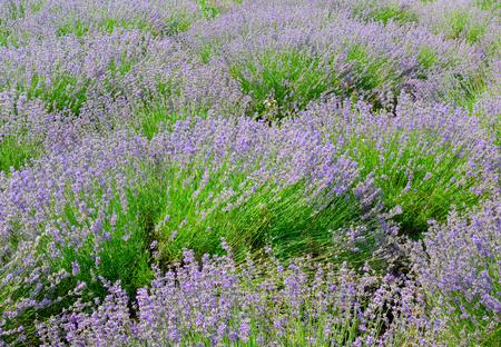 Lavender field in summer. Imagens