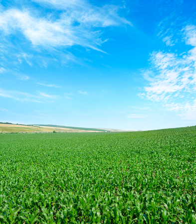 Corn field with young plants and blue sky.