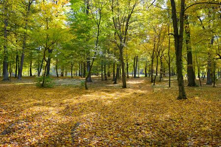 Bright autumn park with fallen yellow dry leaves.