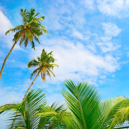 Coconut palm tree and blue sky. Tropical background Stockfoto