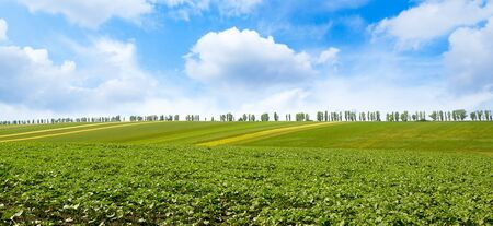 Panorama young sprouts of sunflower on spring field and blue sky Stock Photo