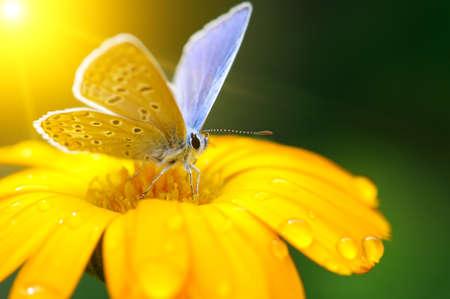 Beautiful butterfly on Gazania flower in rays of bright sun.