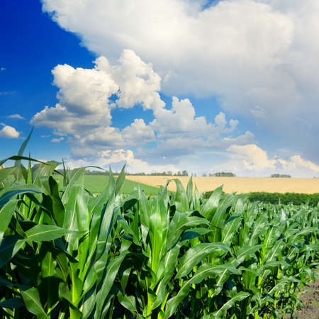 Stalks of corn close-up and blue sky with white clouds