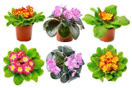 Collection multicolored fresh violets from different angles isolated on white background. 版權商用圖片