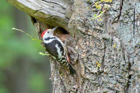 Rectangular photograph of great spotted woodpecker on tree trunk. 版權商用圖片