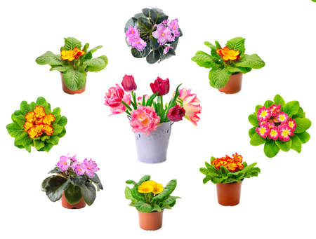 Large collection of multicolored fresh violets and tulips isolated on white background.