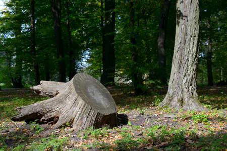 Huge stump felled tree in city park.