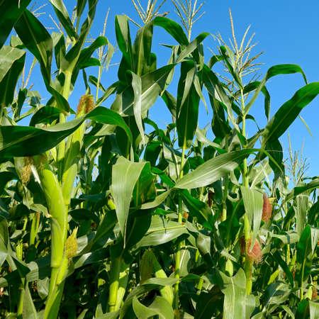 Fresh corn stalks on blue sky background. 版權商用圖片