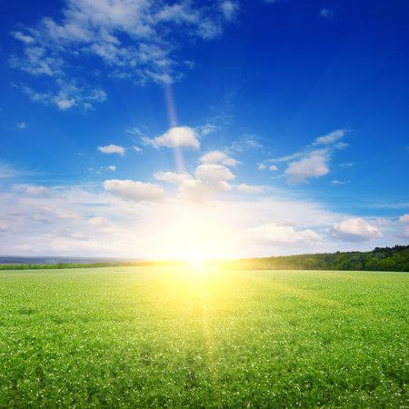 Square landscape green pea field and beautiful sunrise. 版權商用圖片