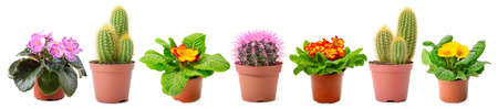 Panoramic collection of multicolored fresh violets and cactus isolated on white background.