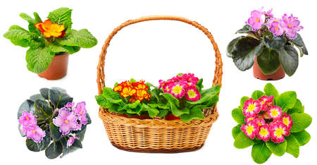 Collection of multicolored fresh violets in basket isolated on white background.