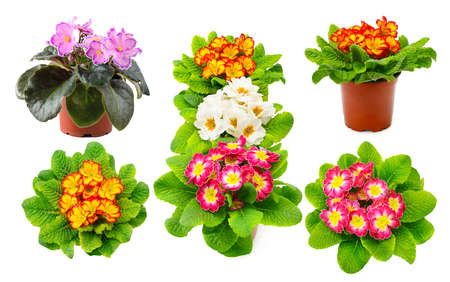 Collection multicolored violets from different angles isolated on white background. 版權商用圖片