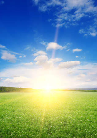 Vertical landscape green pea field and beautiful sunrise.