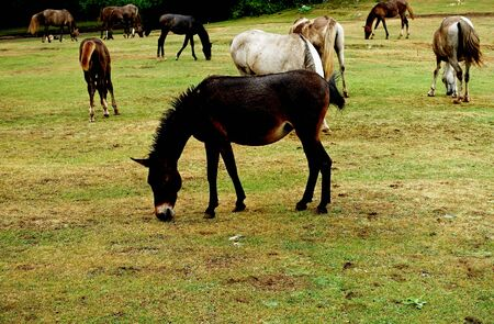 Herd of horses in a national park on Mount Daiti in Tirana 写真素材