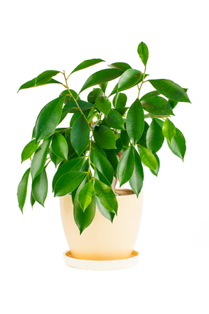 Ficus   Indoor plant in a flowerpot isolated on white background photo