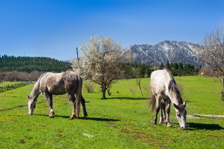 Horses graze on meadow against blue sky. Georgia. Mountain landscape. Imagens