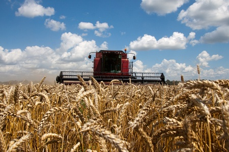agricultural machinery: Combine harvests wheat on a field in sunny summer day
