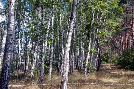 Summer birch woods photo