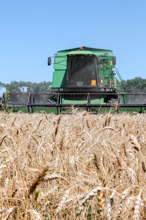 harvests: Combine harvests wheat on a field in sunny summer day