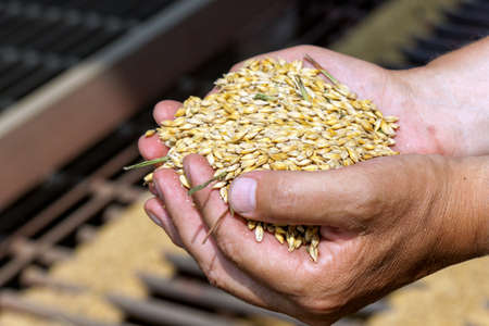 granule: Man holds in his hands the grain in sunny summer day, closeup