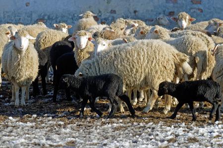 sheepfold: Sheeps grazing in a sheepyard on a bright sunny autumn day