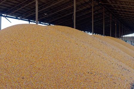 stored: Corn grain stored in threshing floor